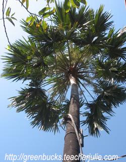 GreenBucks » Anahaw Tree